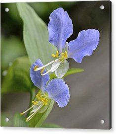 Virginia Dayflower Pair Acrylic Print