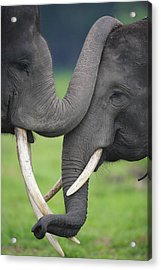 Asian Elephant Greeting Acrylic Print by Cyril Ruoso