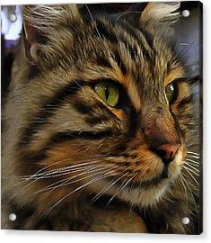 Aslan The Long Haired Tabby Cat Acrylic Print by Tracey Harrington-Simpson