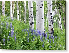 Aspen And Lupine Acrylic Print