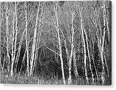 Aspen Forest Black And White Print Acrylic Print
