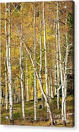 Aspen Forest Acrylic Print