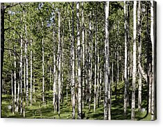 Aspen Forest Acrylic Print by Jon Rossiter