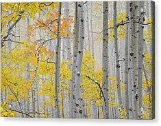 Aspen Forest Texture Acrylic Print