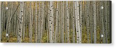 Aspen Grove In Fall, Kebler Pass Acrylic Print by Ron Watts