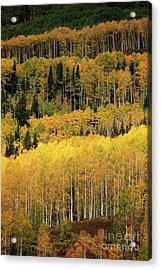 Aspen Groves Acrylic Print