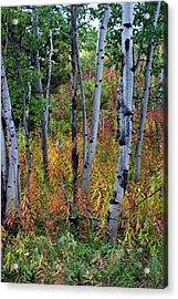Aspen In Fall Acrylic Print by Marty Koch
