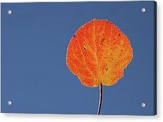 Aspen Leaf 1 Acrylic Print by Marie Leslie