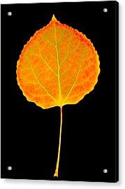 Aspen Leaf Glory Acrylic Print