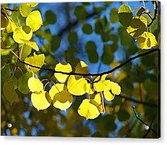 Aspen Leaves 1 Acrylic Print