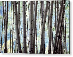 Aspen On The Edge Of Bear Creek Acrylic Print
