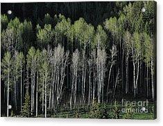 Aspen Spring Acrylic Print