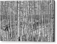 Aspen Stand In Black And White Acrylic Print