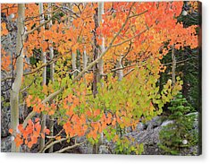 Aspen Stoplight Acrylic Print by David Chandler