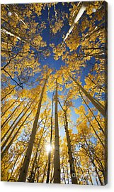 Aspen Tree Canopy 3 Acrylic Print by Ron Dahlquist - Printscapes