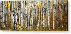 Aspen Tree Grove Acrylic Print by Ron Dahlquist - Printscapes