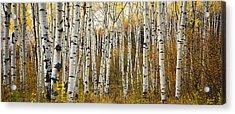 Aspen Tree Grove Acrylic Print