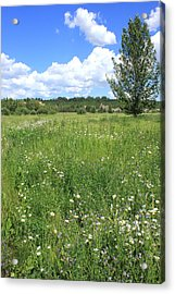 Aspen Tree In Meadow With Wild Flowers Acrylic Print by Jim Sauchyn