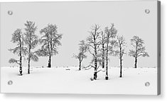 Aspen Tree Line-up Acrylic Print