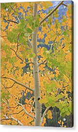 Aspen Watching You Acrylic Print by David Chandler