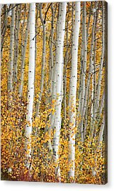 Aspen With Fall Color Acrylic Print by Dori Peers