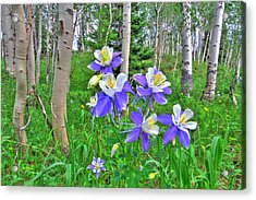 Aspens And Columbines Acrylic Print by Scott Mahon