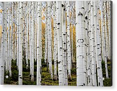 Aspens And Gold Acrylic Print