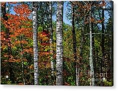 Aspens In Fall Forest Acrylic Print by Elena Elisseeva