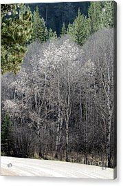Aspens In Morning Light Acrylic Print