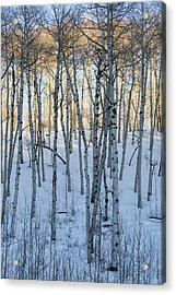 Aspens In Shadow And Light Acrylic Print
