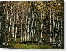 Aspens In The Fall Acrylic Print by Timothy Johnson