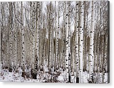 Aspens In Winter - Colorado Acrylic Print