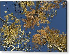 Acrylic Print featuring the photograph Aspens Looking Up by Mary Hone