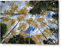 Acrylic Print featuring the photograph Aspens Reaching by Kevin Munro