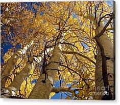 Aspen's Reaching  Acrylic Print by Scott McGuire