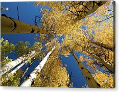 Acrylic Print featuring the photograph Aspens Up by Steve Stuller