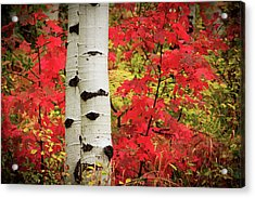 Aspens With Red Maple Acrylic Print