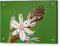 Asphodelus Microcarpus Acrylic Print by Yuri Peress