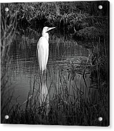 Assateague Island Great Egret Ardea Alba In Black And White Acrylic Print