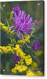 Aster And Goldenrod - D009195 Acrylic Print by Daniel Dempster