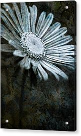 Aster On Rock Acrylic Print