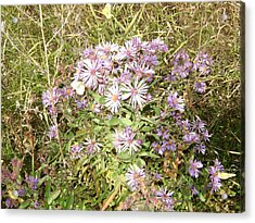 Asters And Butterflies Acrylic Print by Paula Prindle