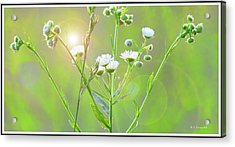 Asters At Sunset Acrylic Print by A Gurmankin
