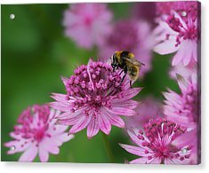 Pollination Acrylic Print by Shirley Mitchell