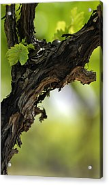 Acrylic Print featuring the photograph At Lachish Vineyard by Dubi Roman
