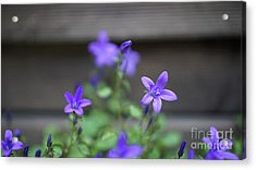 At The Fence Acrylic Print