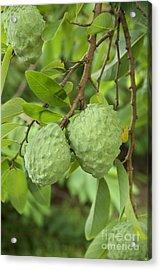 Atemoya Fruit On Branch Acrylic Print by Inga Spence