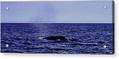 Athena's Whale Acrylic Print