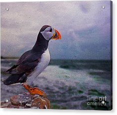 Atlantic Puffin Acrylic Print by Jim  Hatch