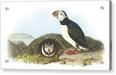 Atlantic Puffin Acrylic Print by John James Audubon